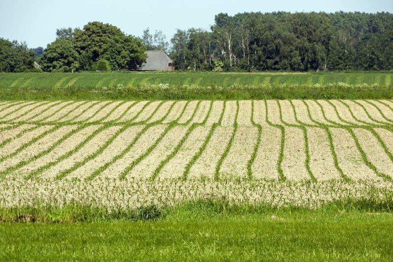 与年轻玉米的英亩 库存照片