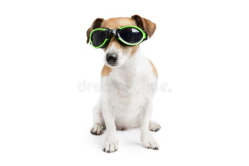 与玻璃的凉快的狗 免版税库存图片