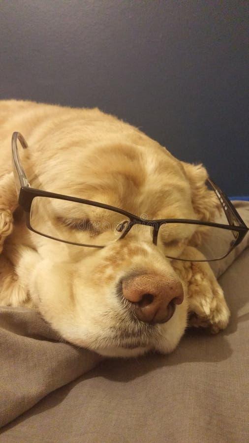 与玻璃的猎犬 免版税图库摄影