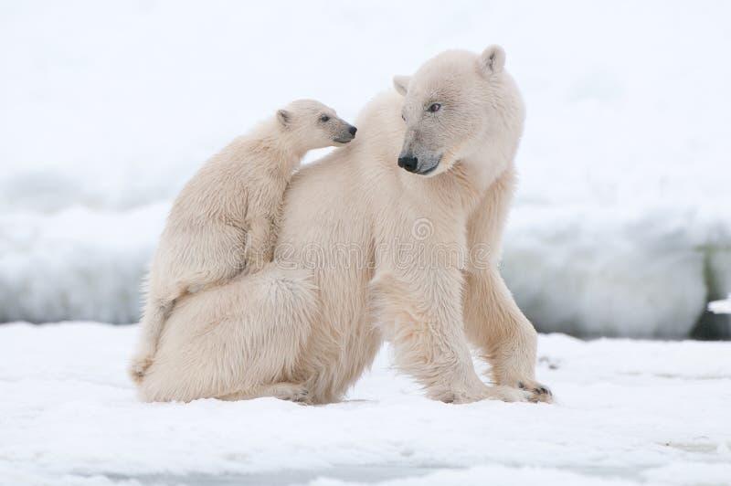 与崽的北极熊 免版税库存照片