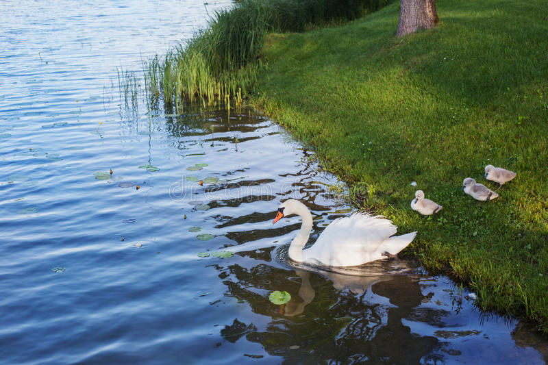 与崽的天鹅临近湖 免版税库存图片
