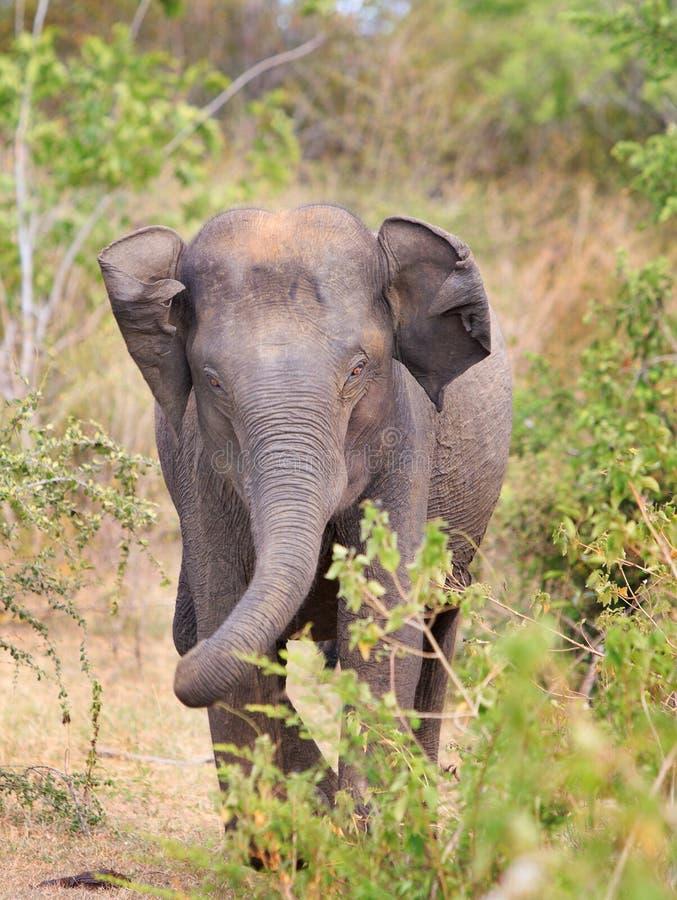 与他的弯曲的树干的一头被隔绝的亚洲大象 库存照片
