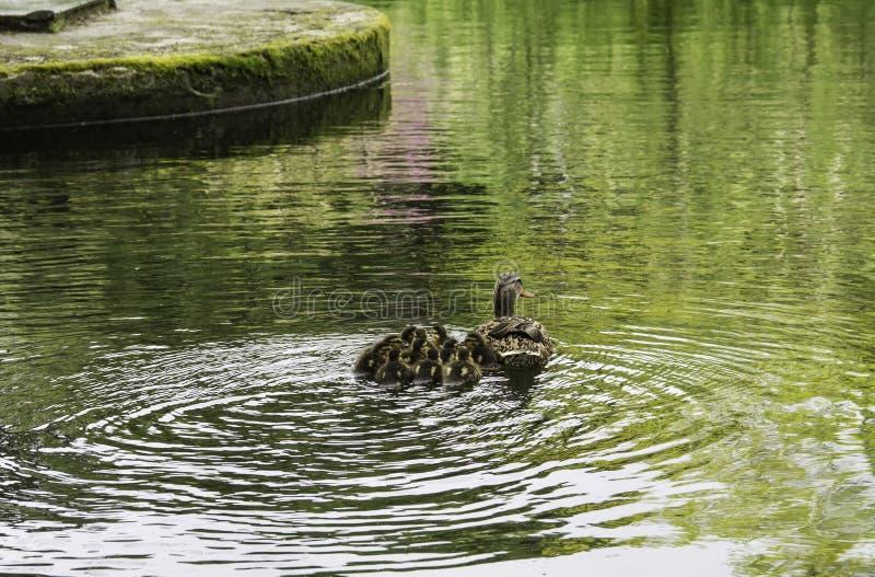 与他的母亲一起被编组的鸭子 免版税库存照片