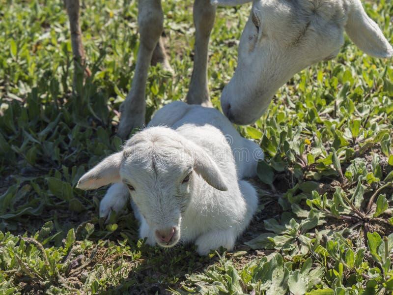 与他的母亲的新出生的羊羔 库存图片
