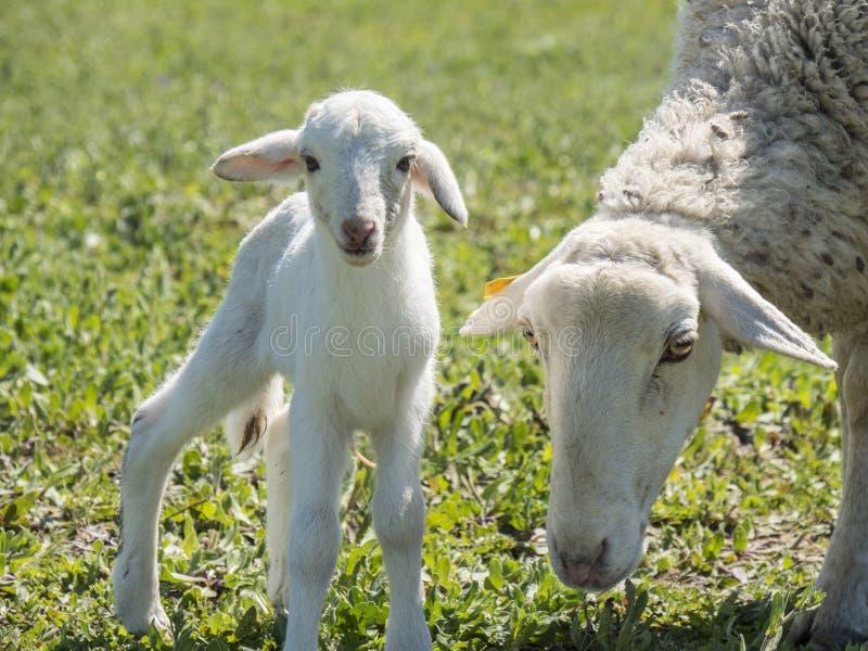 与他的母亲的新出生的羊羔 免版税库存图片