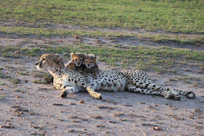 与崽的母猎豹在狂放的maasai玛拉 免版税库存照片