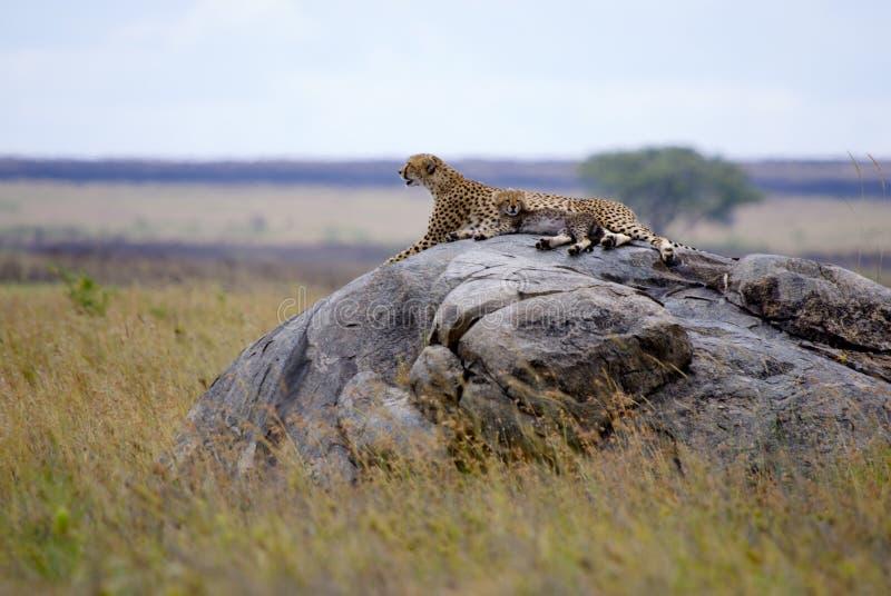 与崽的猎豹在塞伦盖蒂 免版税库存照片
