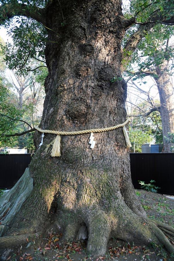 与绳索的神道的信徒的树寺庙在树附近 免版税库存照片