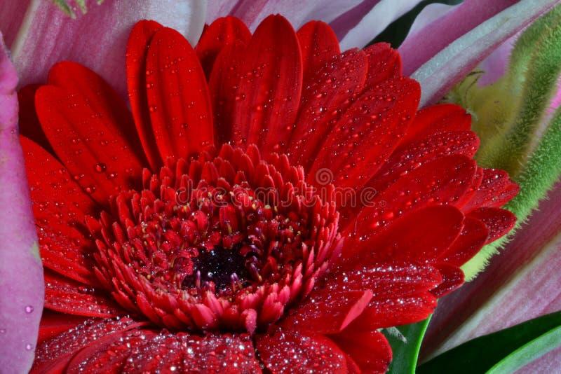与水滴的红色大丁草花 免版税库存照片