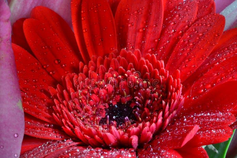 与水滴的红色大丁草花 免版税库存图片