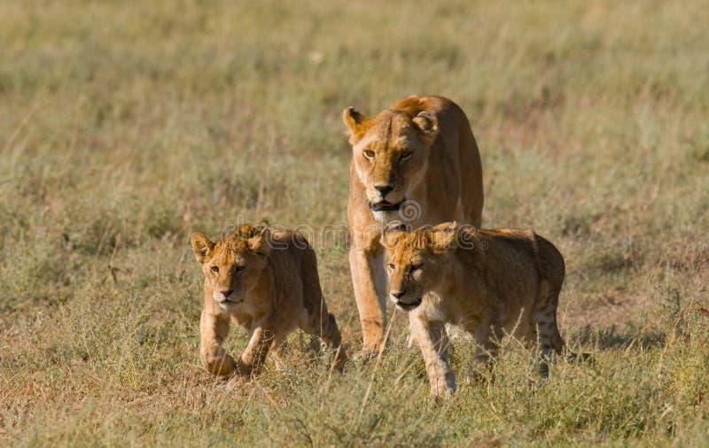 与崽的雌狮在大草原 国家公园 肯尼亚 坦桑尼亚 mara马塞语 serengeti 免版税库存图片