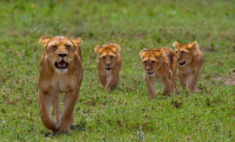与崽的雌狮在大草原 国家公园 肯尼亚 坦桑尼亚 mara马塞语 serengeti 库存图片