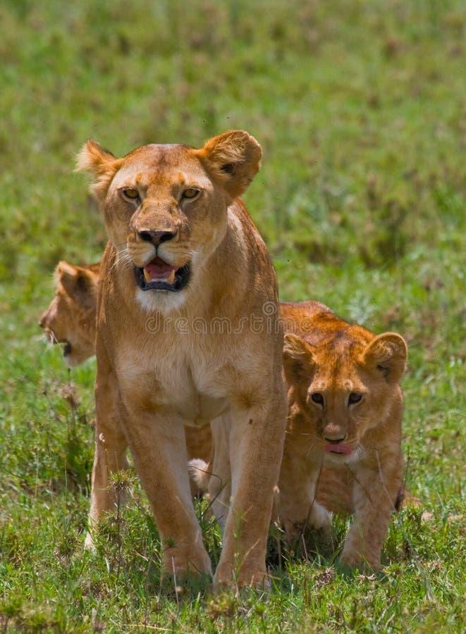 与崽的雌狮在大草原 国家公园 肯尼亚 坦桑尼亚 mara马塞语 serengeti 库存照片