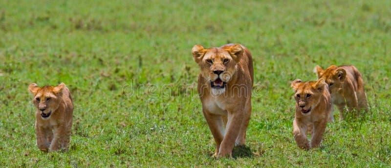 与崽的雌狮在大草原 国家公园 肯尼亚 坦桑尼亚 mara马塞语 serengeti 免版税库存照片
