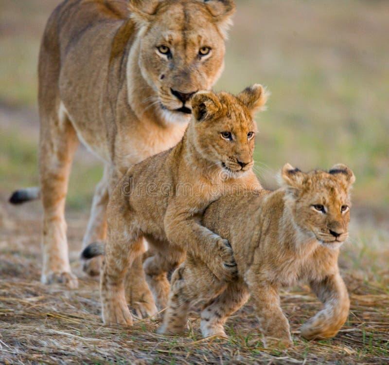 与崽的雌狮 Okavango Delta 库存照片
