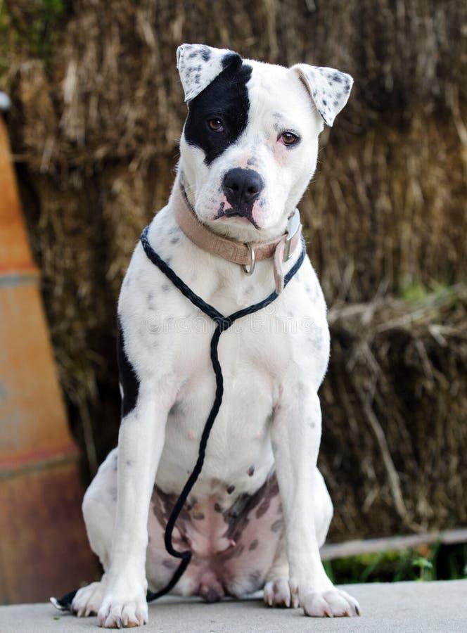 与黑眼睛补丁的白色Pitbull狗 库存图片