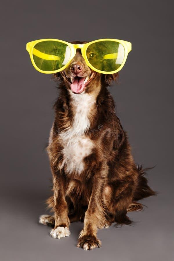 与滑稽的玻璃演播室画象的布朗狗 库存图片
