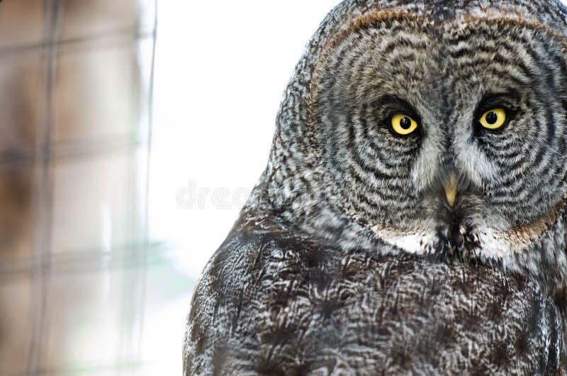与贯穿的眼睛的猫头鹰 免版税库存图片