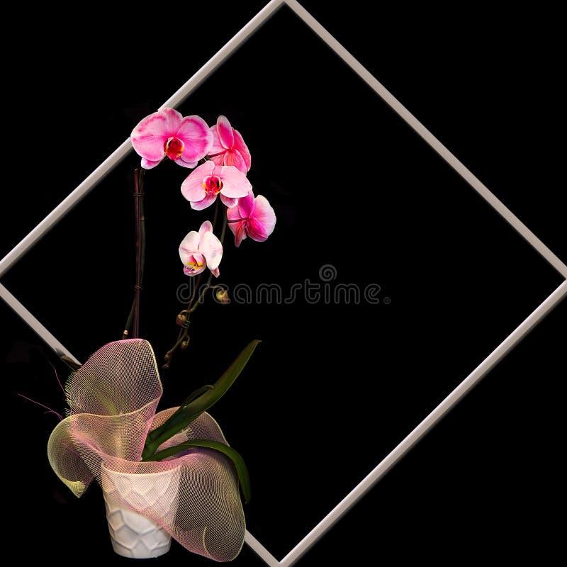 与紫红色的兰花的背景反对黑色 库存照片