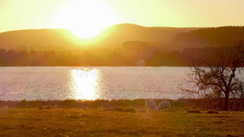与绵羊的国家人生的日落农田 库存照片