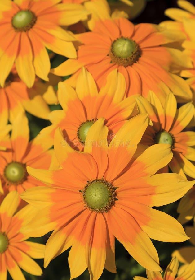 与绿色中心的黄金菊 库存照片