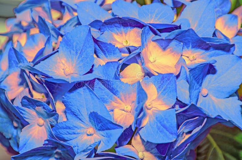 与黄色八仙花属的蓝色开花,霍滕西亚瓣紧密  库存图片
