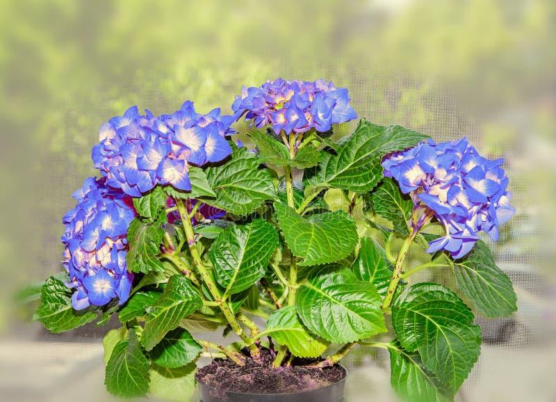 与黄色八仙花属的蓝色开花,霍滕西亚瓣紧密  免版税库存图片