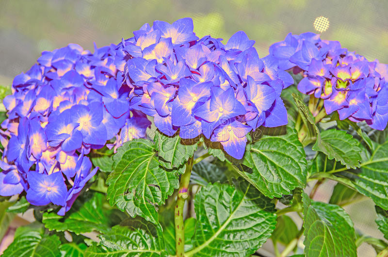 与黄色八仙花属的蓝色开花,霍滕西亚瓣紧密  免版税图库摄影