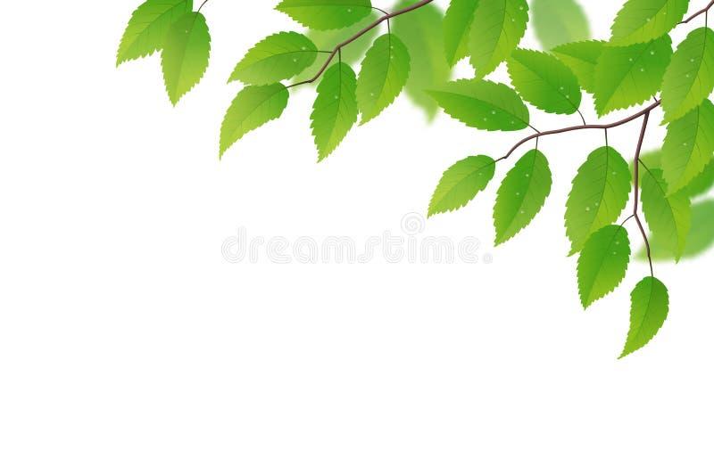 与绿色叶子的叶状体 向量例证