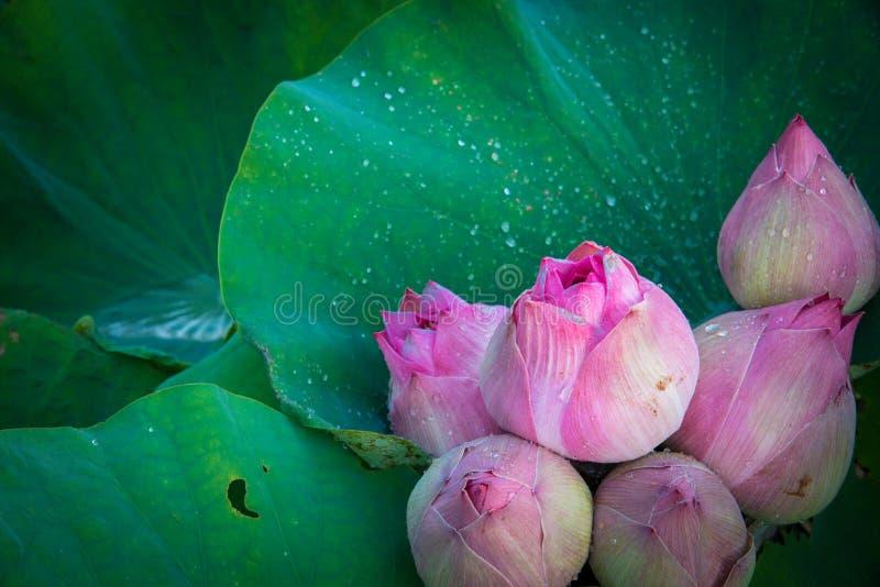 与绿色叶子的新鲜的莲花 库存图片