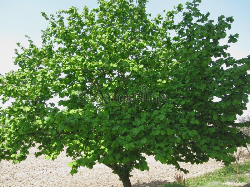 与绿色叶子的榛树 免版税库存照片