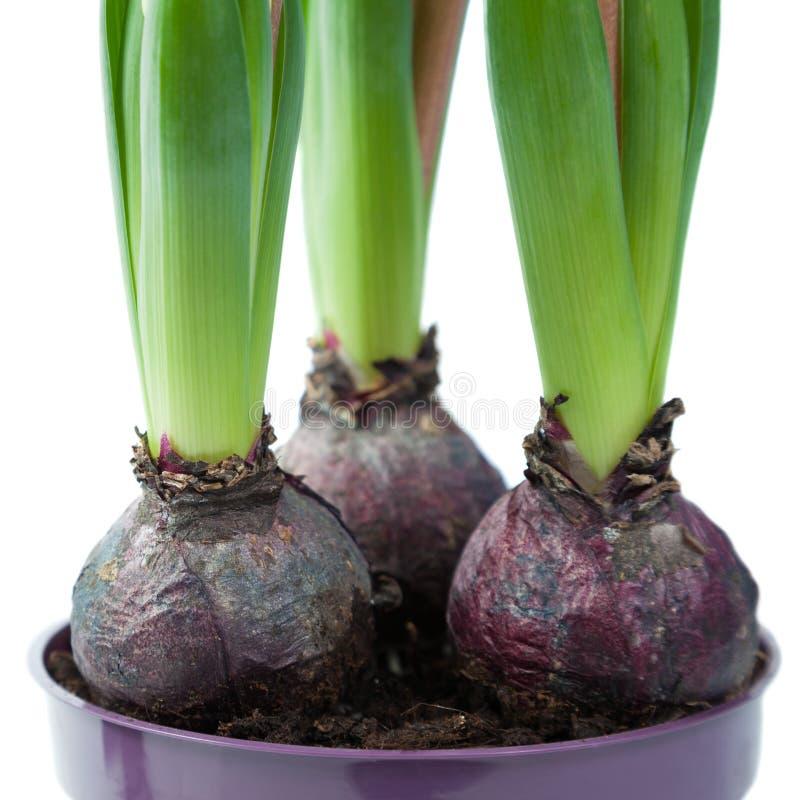 Download 与绿色叶子的电灯泡 库存照片. 图片 包括有 玻色子, 花盆, beautifuler, 新鲜, 绿色, 植物群 - 30325612