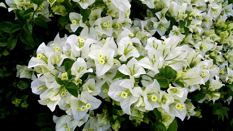 与绿色叶子的白色九重葛花 免版税图库摄影