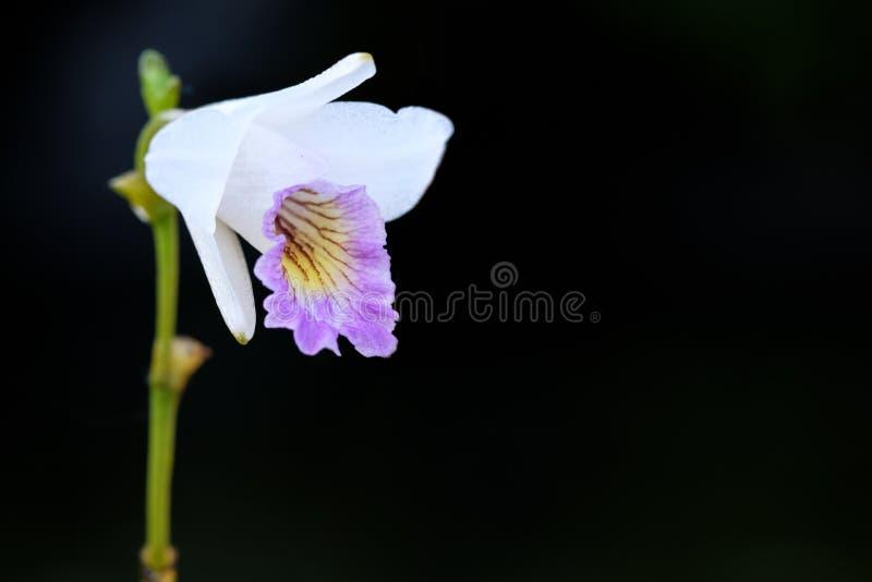 与绿色叶子的白色分支兰花花 图库摄影