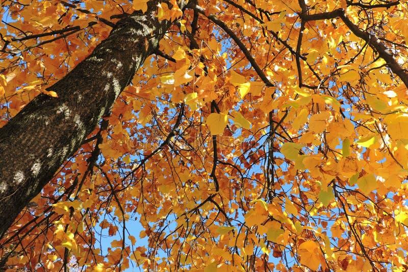 与黄色叶子的秋季树 库存照片