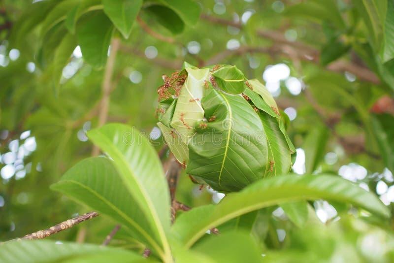 与绿色叶子的红色蚂蚁 免版税库存图片
