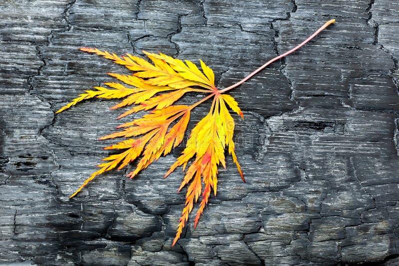 与黄色叶子的被烧的黑木头 库存照片