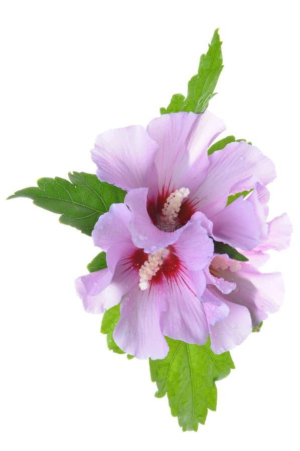 与绿色叶子的紫罗兰色木槿花 免版税库存照片