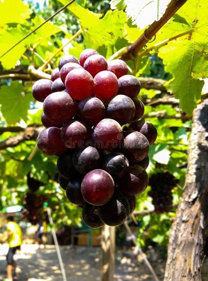 与绿色叶子的紫色红葡萄 免版税库存照片