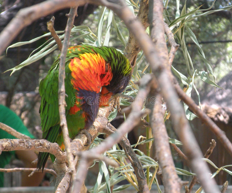 与黄色和蓝色鹦鹉抓的绿色 库存图片