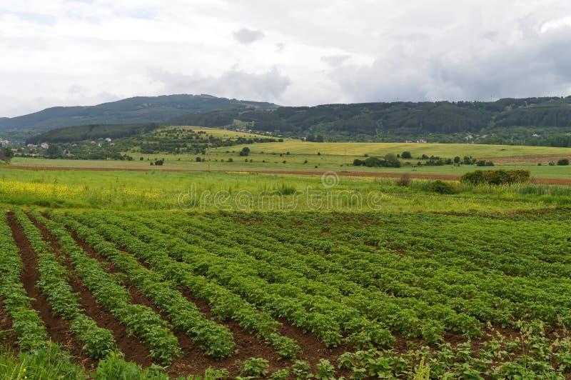 与绿色土豆厂的领域 免版税库存图片