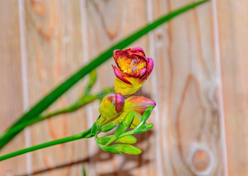 与黄色小苍兰花,木背景,绿色植物的紫色 免版税库存图片
