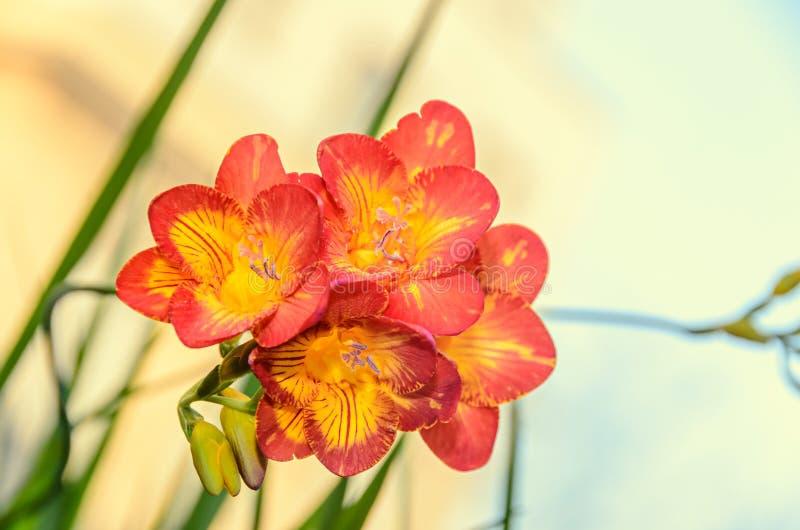 与黄色小苍兰花,窗口背景,绿色植物的紫色 库存照片