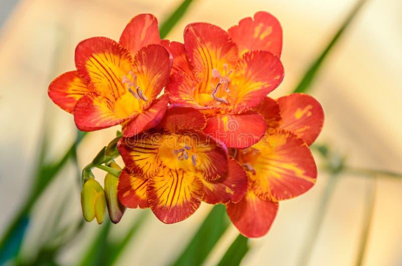 与黄色小苍兰花,窗口背景,绿色植物的紫色 免版税库存图片