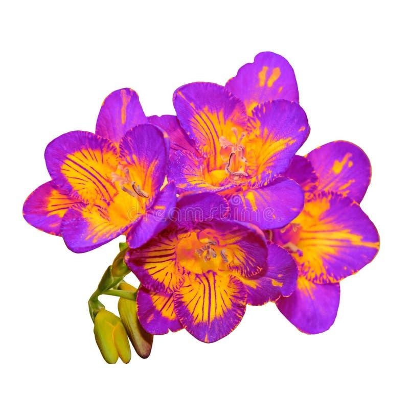 与黄色小苍兰花,绿色芽的淡紫色,隔绝在白色 免版税库存照片
