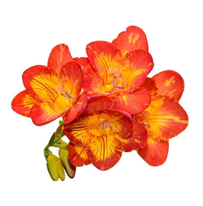 与黄色小苍兰花,绿色芽的紫色,被隔绝 免版税库存照片