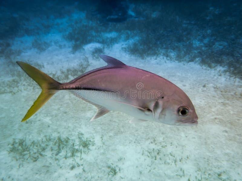 与黄色尾巴Caranx latus的银色马眼睛起重器鱼在Caye填缝隙工-伯利兹附近的加勒比海 免版税库存照片