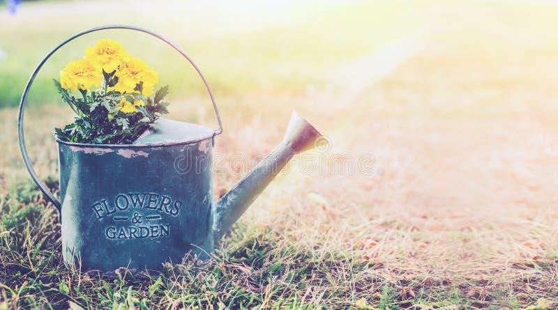 与黄色庭院的葡萄酒金属喷壶在与草的晴朗的室外自然背景开花 免版税图库摄影