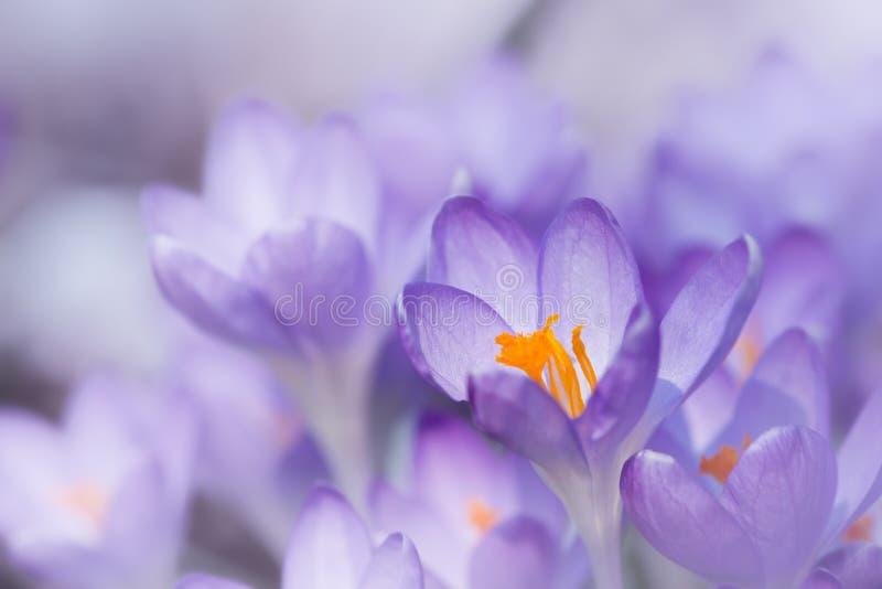 与黄色开花的番红花花 图库摄影