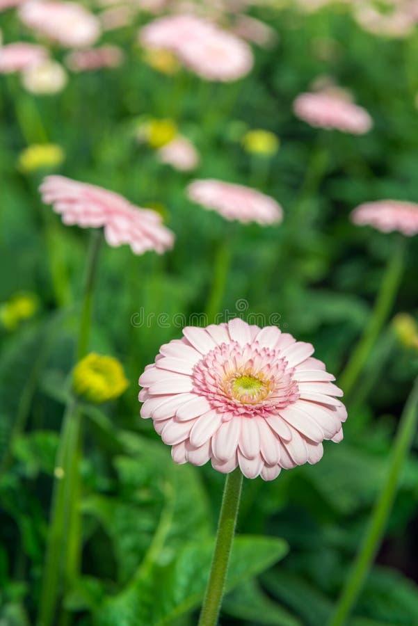 与黄色心脏的浅粉红色的开花的大丁草绽放从clos 库存照片